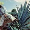 рослина агава - фото
