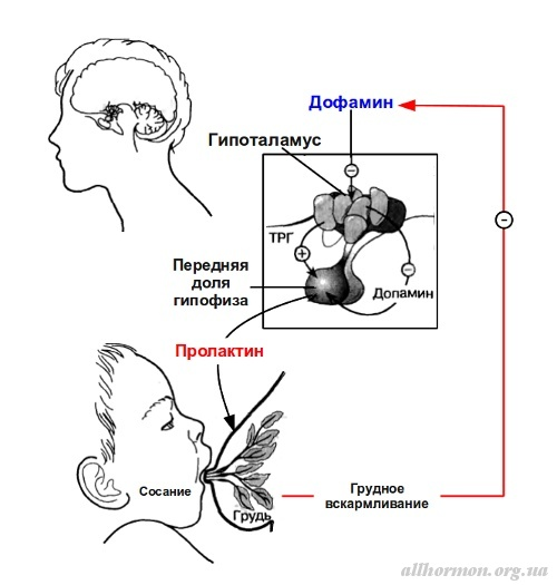 Пролактин - фото