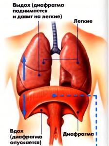 діафрагма - фото